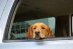 jak przewozić psa w samochodzie